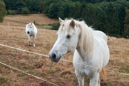 Two white horses on a farm behide a fencing rope Stok Fotoğraf