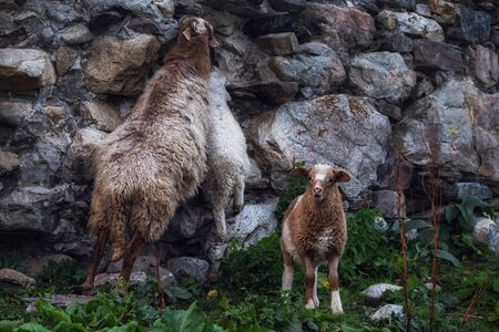 Three sheeps mother and babies licking minerals from an antient stone wall of svan tower
