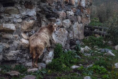 Sheep licking minerals from an antient stone wall of svan tower