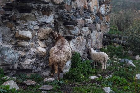 Sheep and lamb licking salt from stones of destroyed svan tower in Adishi village Svaneti Georgia Stock Photo