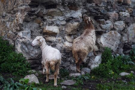 Sheeps mother and baby licking minerals from an antient stone wall of svan tower