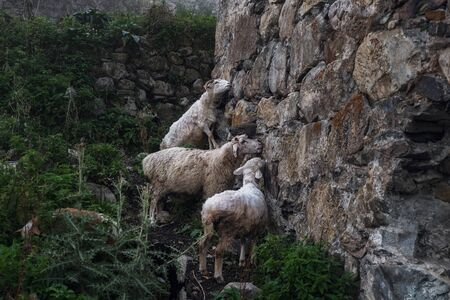 Sheeps licking salt from stones of destroyed svan tower in Adishi village Svaneti Georgia Stock Photo