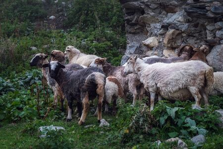Sheeps licking minerals from an antient stone wall of svan tower