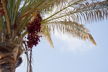 Red Dates Palm Stock Photo - 14898070