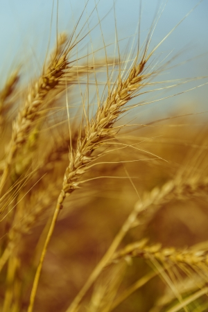organics: Beautiful Image of Golden Wheat Field (Harvest Concept)