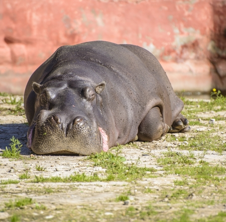 foe: A Large Zoo Hippo Resting Under Sunlight