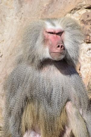 Baboon Portrait with Menacing Look, a Male Hamadryas Baboon  Papio Hamadryas