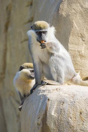 faced: A Black Faced Vervet Monkey Eating Food