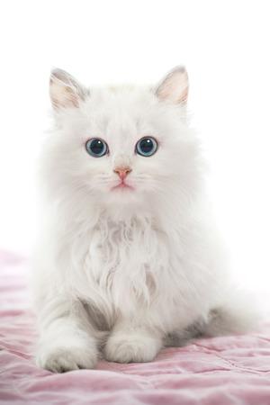 Mooie Jonge Witte Kat met Blauwe Ogen op Roze Deken Stockfoto