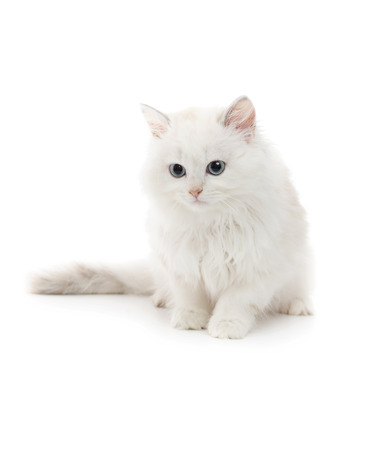 Beautiful Young White Cat Isolated on White