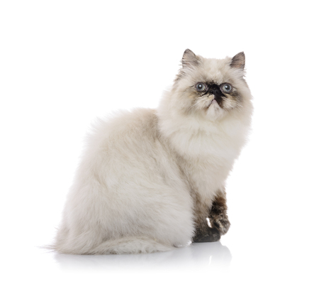 Young Himalayan Cat Posing for Photo Isolated on White