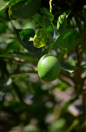 A Green Lime Fruit Hanging On Tree