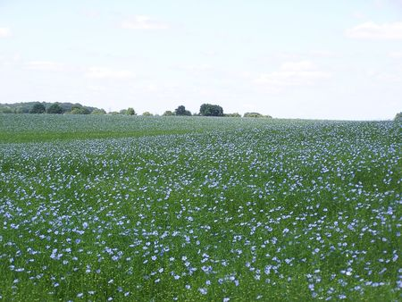 an ocean of blue : flowering flax in a field photo