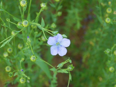 blaue Blume Flachs Lizenzfreie Bilder
