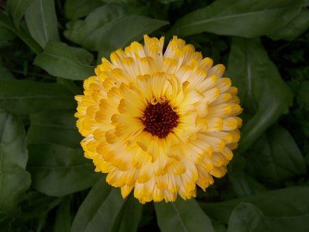 Pot Marigold or English Marigold (calendula officinalis) Stock Photo - 3442671