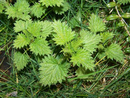urtica: stinging nettle (urtica dioica)