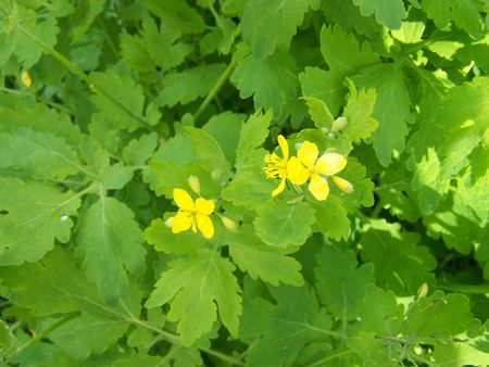 officinal: Celidonia mayor (Chelidonium)