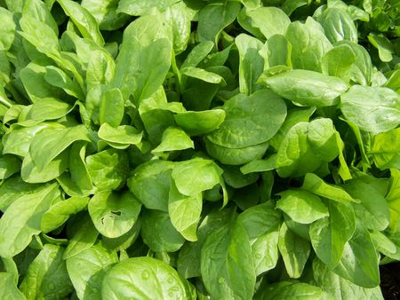 Spinach growing in the field.