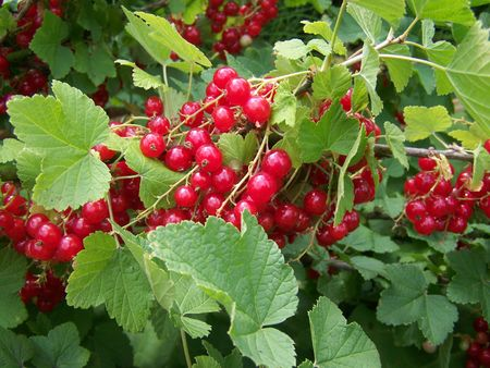 ribes: branch with red currant berries (ribes rubrum) Stock Photo