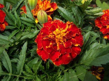 patula: marigold flowers (tagetes patula)