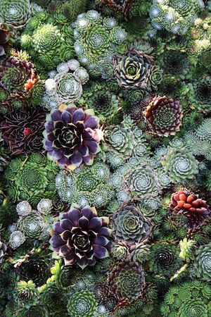 Sempervivum 3