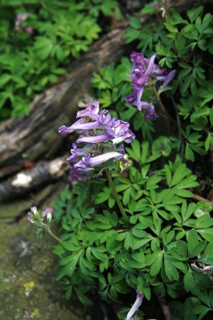 corydalis: Solid Tubered Corydalis, a Spring flower. Stock Photo