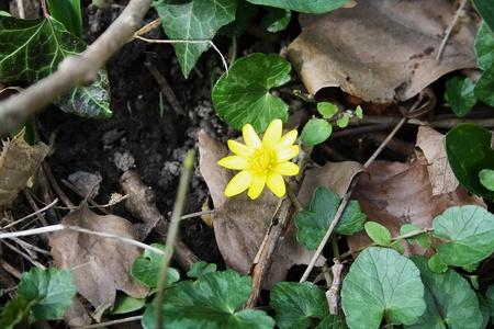 Scharbockskraut, Ranunculus Ficaria subsp. bulbilifer Standard-Bild