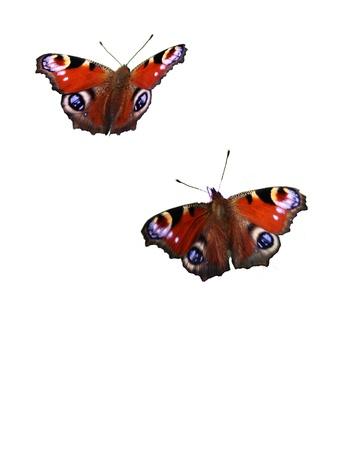 European Peacock Schmetterlinge isoliert auf weißem Hintergrund