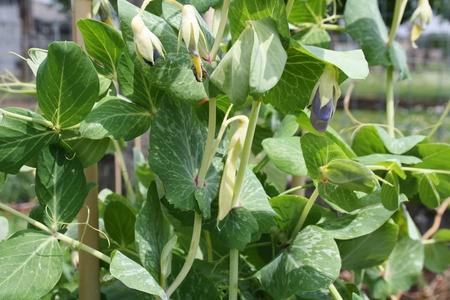 Golden Sweet Pea (Pisum sativum)