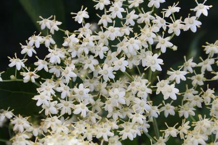 Blumen von Holunder (Sambucus nigra)