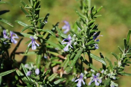 Rosmarin (Rosmarinus officinalis) Standard-Bild