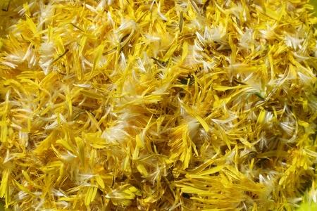 Löwenzahn-Blütenblätter Hintergrund