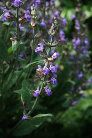 Garden of Common Sage Salbei (Salvia officinalis), der als Küche Kraut und als Heilpflanze verwendet.
