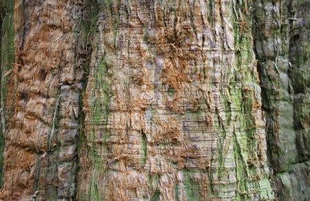 Rinde von Sequoiadendron giganteum Standard-Bild