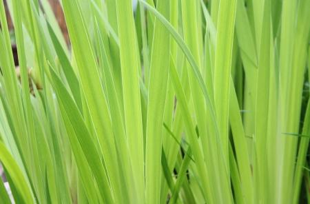 Grüne Blätter der Iris Blume
