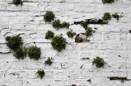 invading: Asplenium ruta-muraria  wall-rue  Stock Photo