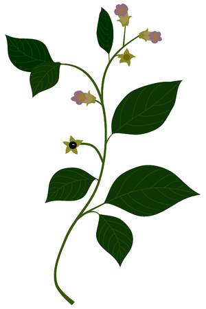 Atropa belladonna Illustration