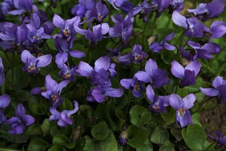 Süße Veilchen (Viola odorata) im Frühling