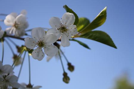 Weiße sauer Kirschblüte gegen blauen Himmel