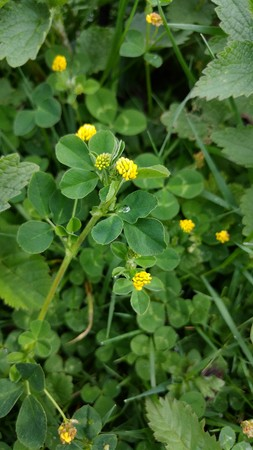 Little Hop Clover (Trifolium Dubium) Standard-Bild