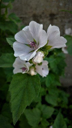 Marshmallow flowers (Althaea officinalis) Imagens