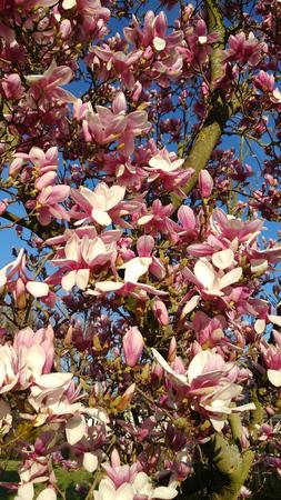 Flowering Magnolia Imagens