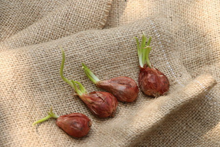 sprouting: Sprouting shallots