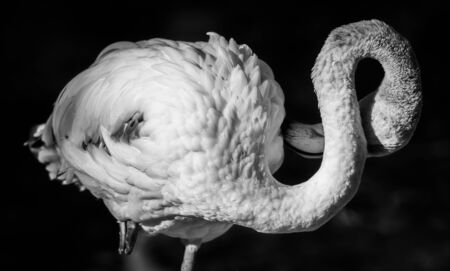 Beautiful decorative picture of the American Flamingo with white plumage long necks strongly hooked bills number 8 Shaped S neck gorgeous friendly Ambassadors black background Stock Photo