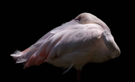 Beautiful decorative picture of the elegant white American Flamingo with light pink plumage long legs and necks strongly hooked bills black background Banque d'images