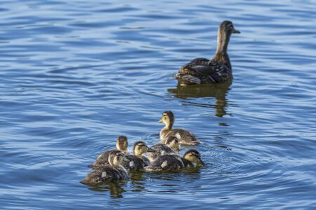 a family of mallard mother and her chicks wading in the mystic river. The chicks follow their mother Banco de Imagens