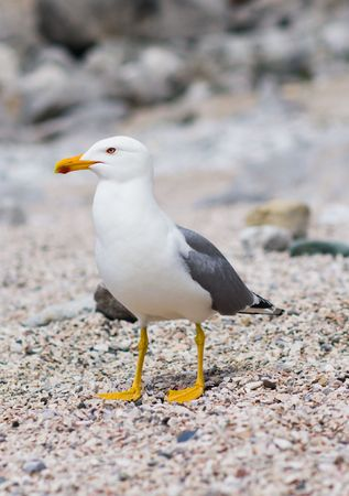 larus: Sitting seagull at the seashore on shingle
