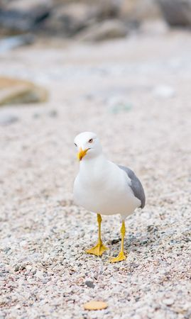 timorous: Curious seagull at the beach cant choose to eat a cookie