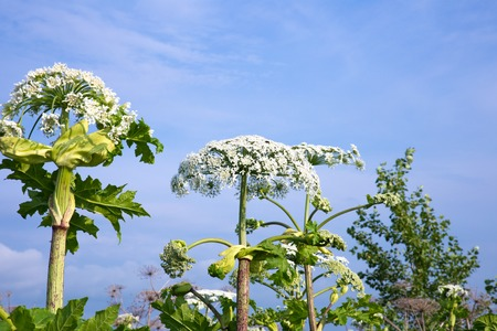 parsnip: cow parsnip blossoms on blue sky background