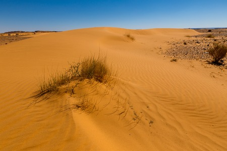 desert ecosystem: sand dune with grass in the Sahara desert, Morocco